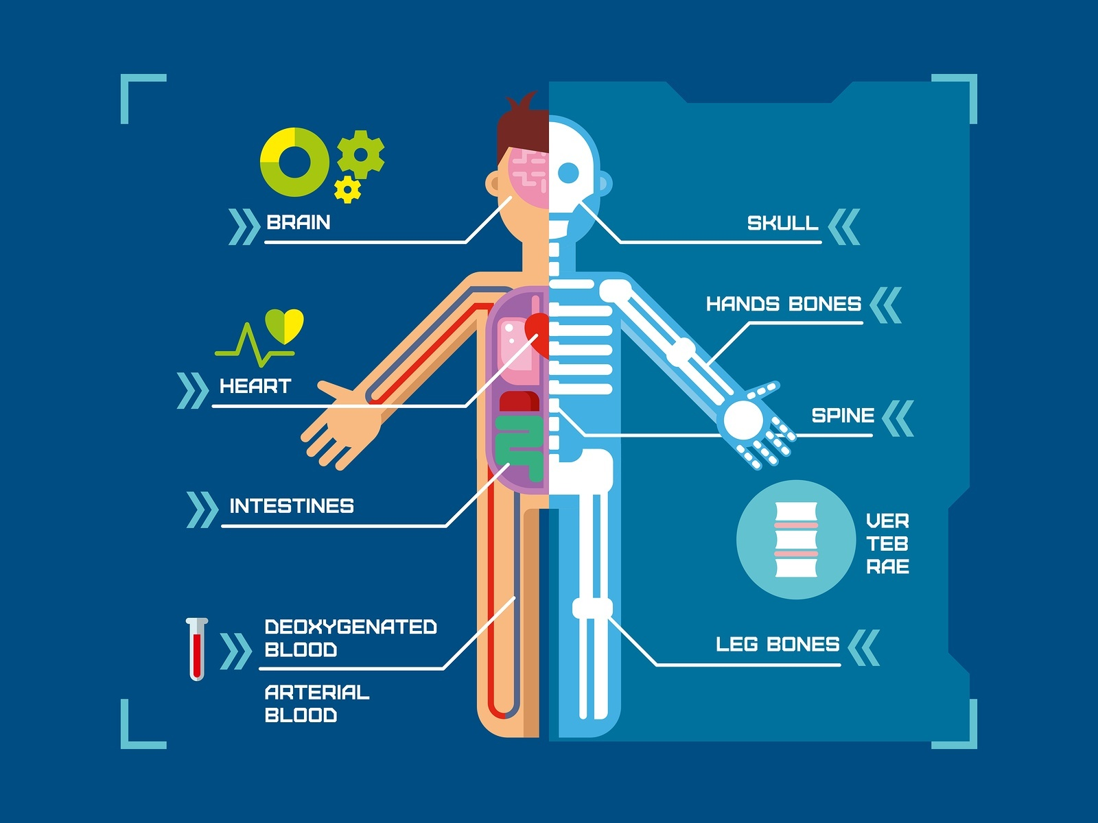Human-Body-Anatomy-Infographic.jpg