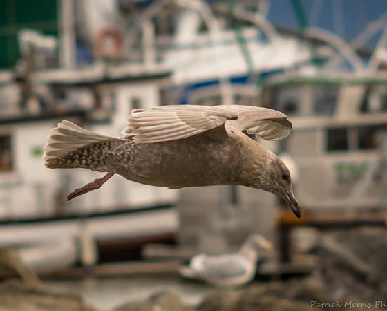 Seagull in Bellingham Bay